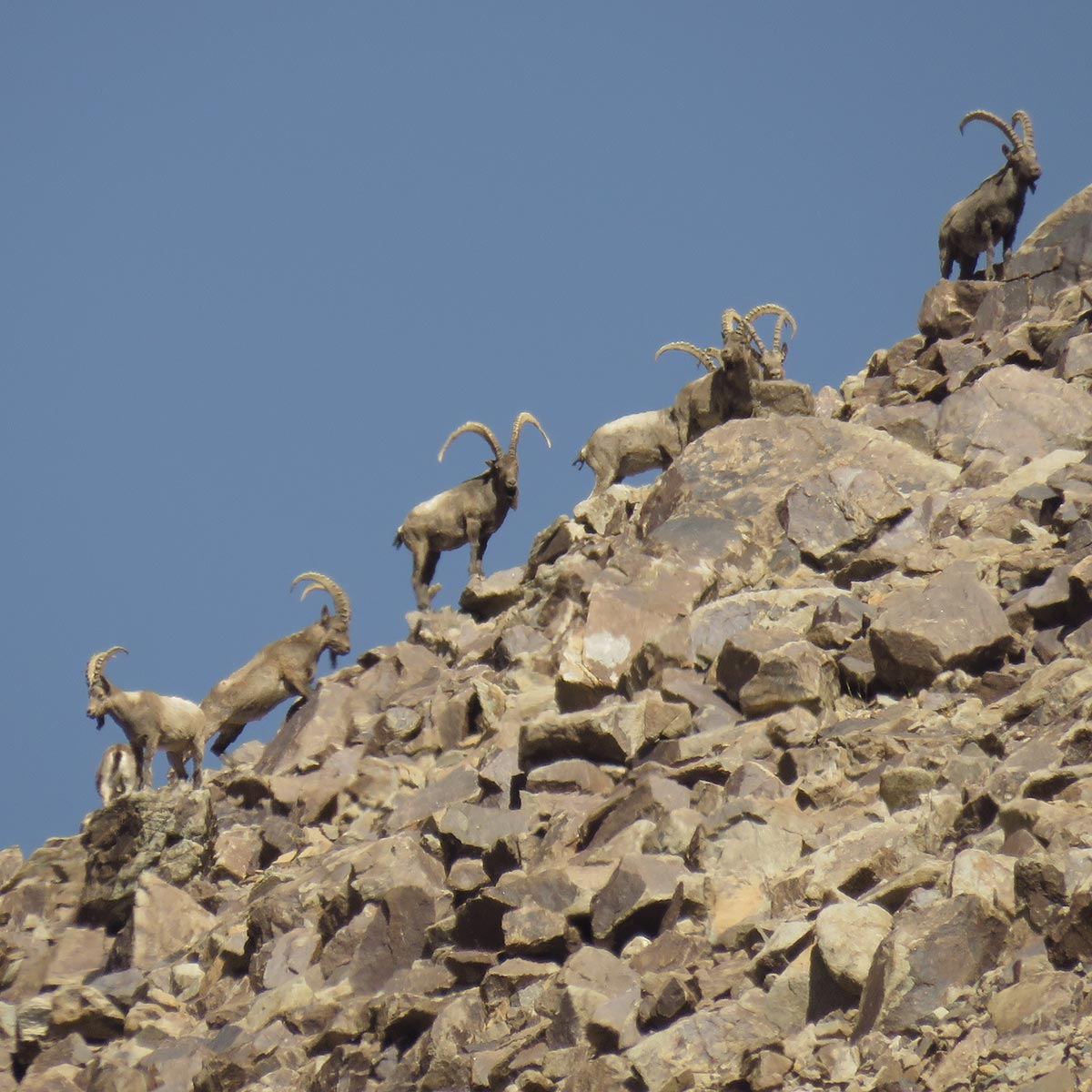 Wild Sheep Foundation Implements Central Asia Conservation Initiative