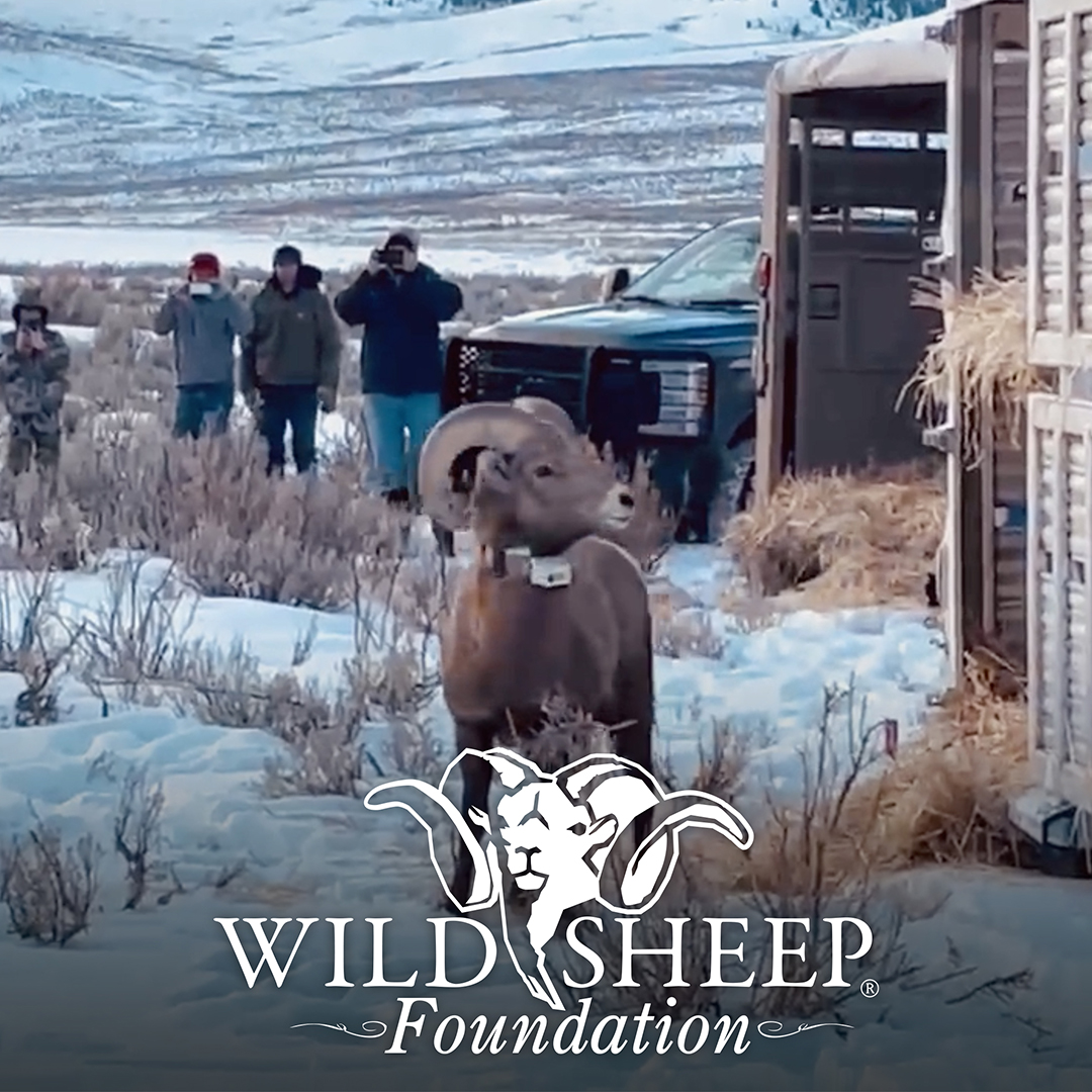 Wild Sheep Foundation, Successful Reintroduction in the Tendoys