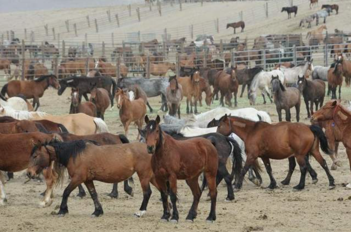 Sheep Foundation Supports National Wild Horse and Burro Advisory Board Management Recommendations