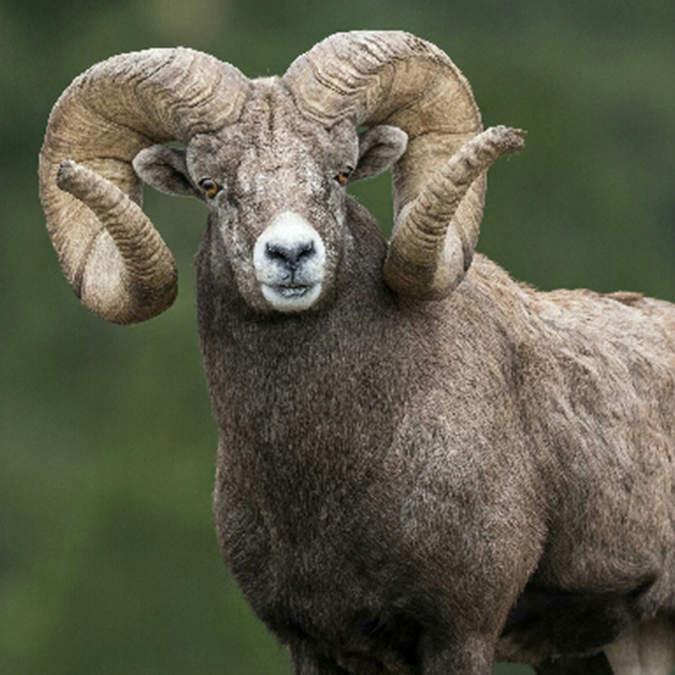 Pending New World's Record Bighorn Sheep Illustrates Conservation Success