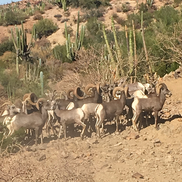 Wild Sheep Foundation Partners with Landowners and Dallas Safari Club Foundation to Restore Desert Bighorn Sheep in Sonora, Mexico