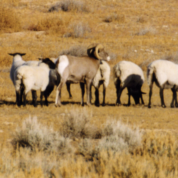 Effective Separation Domestic and Wild Sheep