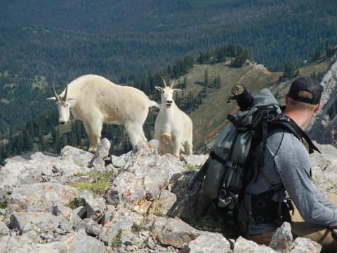 What You Should Know While Recreating In Goat Country - MTFWP