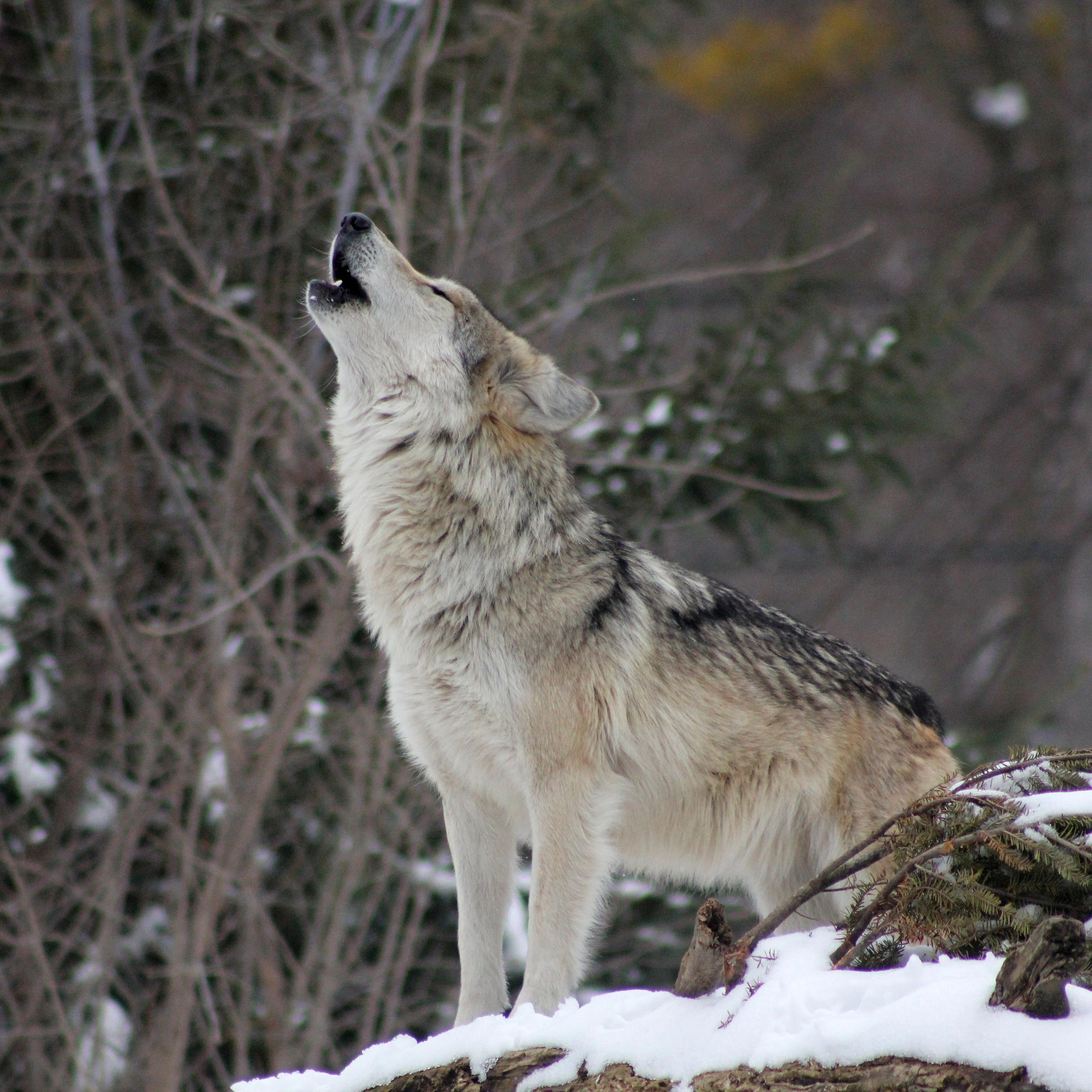 Wolf Reintroductions in Colorado