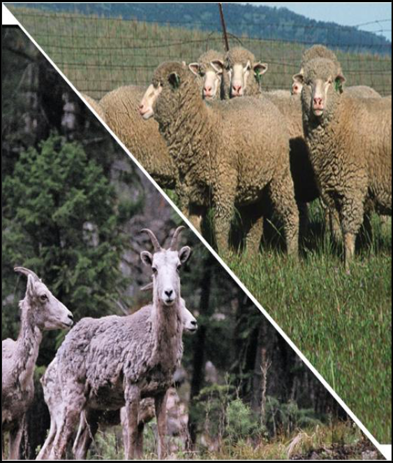 Sheep in Montana – Domestic and Wild The State of Things and What We Know About Disease