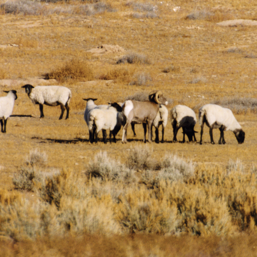 Domestic Sheep Pathogen Deadly to Bighorn Sheep May Threaten Whitetail Deer, Bison, Moose, Caribou…and Cattle